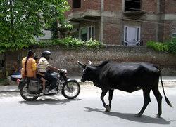 ニューデリーの牛