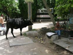 戻って来た牛