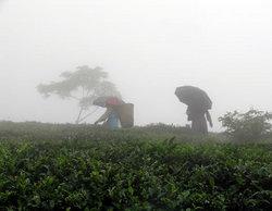 雨の中の茶畑