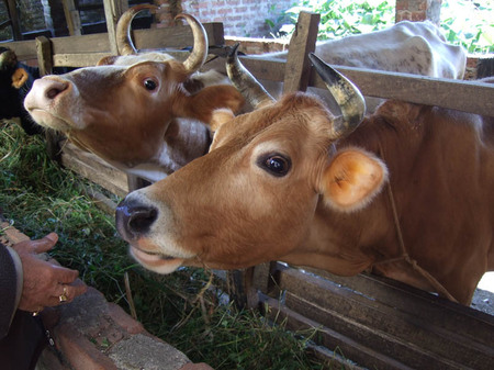 Cow1_2