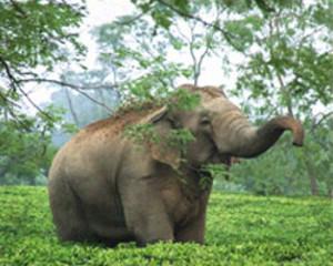 Assam_h1