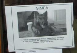 Simba_1