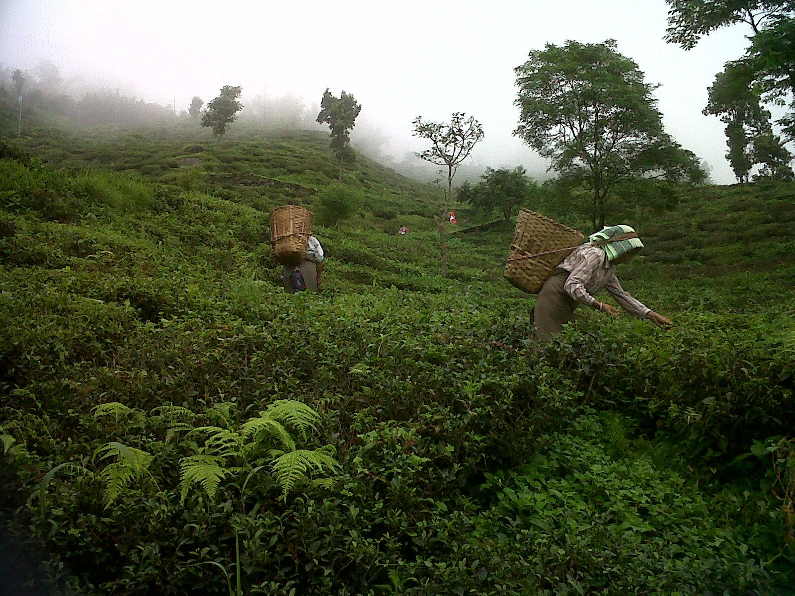 再び茶畑にて